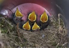 Házi rozsdafarkú fiókák fészekben