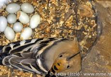 Búbosbanka tojásos fészekalja