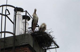 Az új gólyapár a kéményen (Fotó: Bank László)