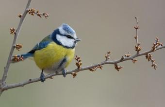 Egyik örökbefogadható odúlakónk: A kék cinege (Fotó: Jakab Sándor)