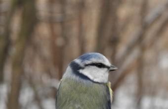 Kék cinege (Fotó: Lendvai Csaba)