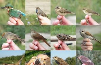 Néhány gyűrűzött madár (Fotók: Koczka András)