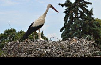 2011-ben gyűrűzött fehértói gólya Szanyban költ.