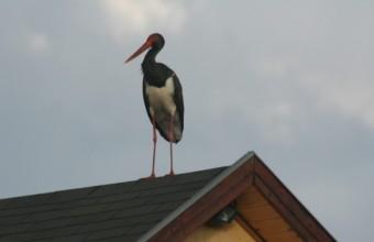 Fekete gólya a háztetőn