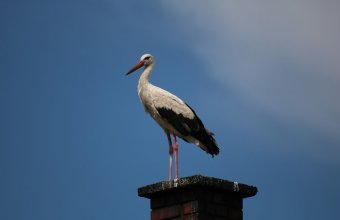 Fehér gólya ( Fotó: Nesztor Karolina)