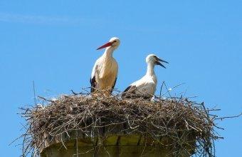 Fehér gólya felmérés