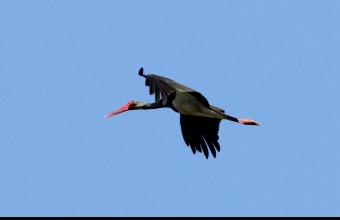 Fekete gólyát figyeltünk meg a mátrai kiülésen