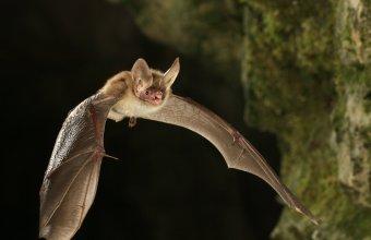 A nagyfülű denevér jó állapotú erdőink fokozottan védett faja (Fotó: Forrásy Cs.)