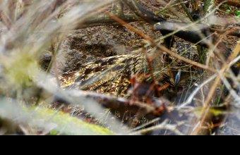 Talajon kotló tojó uhu a Hernád-völgyben. (fotó: Schwartz Vince)