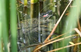 Vörösfülű ékszerteknős a fővárosi Gőtés-tóban (Fotó: Halpern Bálint).