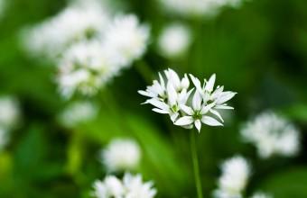 Medvehagyma virágzásban (Fotó: Demeter Károly)