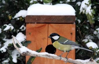 """A széncinege gyakori téli éjszakázó vendége a """"B"""" és """"D"""" típusú mesterséges madárodúknak (Fotó: Orbán Zoltán)."""