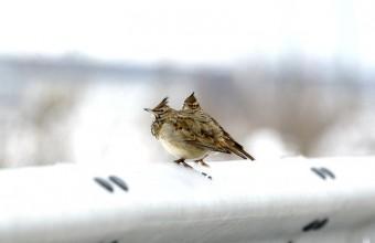 Búbospacsirták havazás idején az M6-os autópálya szalagkorlátján (Fotó: Orbán Zoltán).