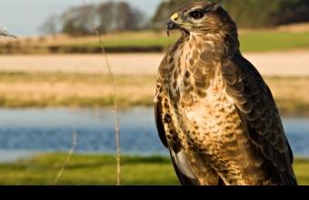 Egerészölyv. Allen Lambert vadőr 10 ilyen madár elpusztításáért fog felelni. Fotó: James Leonard/Alamy
