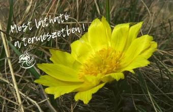 Tavaszi hérics (Fotó: Benedek Veronika)