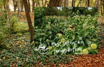 A borostyán ősszel virágzik (Fotók: Orbán Zoltán, Benedek Veronika)