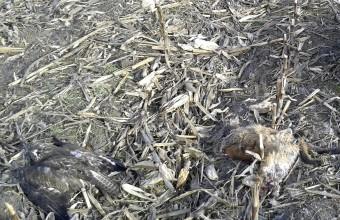Az egyik 2016. januári eset helyszíne mérgezett egerészölyvvelés rókával (Fotó: Deák Gábor).