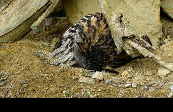 Brodifakumtól elpusztult tojó uhu a Hernád menti költőhelyen a megtalálásakor. (fotó: Schwartz Vince)