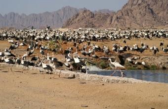 Fehér gólyák a Sínai-félszigeten (fotó: Marjo Glerum)