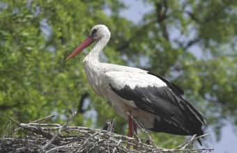 Fehér gólya  (Fotó: Orbán Zoltán)