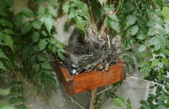 Feketerigó-fészektálca fészekkel (Fotó: Orbán Zoltán).