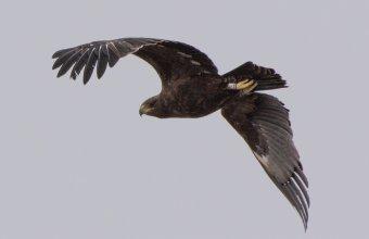 Észt gyűrűs fekete sas (Fotó: Bődör Bence)
