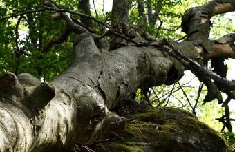 Kidőlt fa (Fotó: Orbán Zoltán)