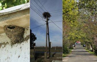 A fecskefészkek leverése, a fehér gólyák fészkeinek eltávolítása, a kilombosodott fásszárú növényzet megsemmisítése nem csak törvénytelen, de olyan élőhelyrombolást jelent, ami rontja hazánk ellenálló képességét a klímaváltozás negatív hatásaival szemben is (Fotók: Orbán Zoltán)