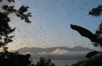 Ezt a nyüzsgő tömeget nem rovarok vagy denevérek, hanem éjszakára gyülekező amuri vércsék alkotják az indiai Nágaföldön! (Fotó: Solt Szabolcs)