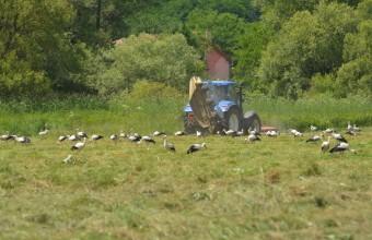 Gólyacsapat szedeget a frissen kaszált gyepen (Fotó: Papp Ferenc)