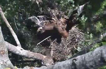 A fészek leszakadásának pillanata (Forrás: parlagisas.hu).