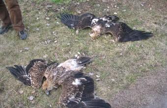 A 2005.03.19-én történt mérgezésben elpusztult két parlagi sas (Fotó: Horváth Márton).