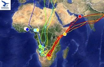 A jeladós kék és amuri vércsék helyzete Afrikában 2015. 05. 04-én (Forrás: satellitetracking.eu).