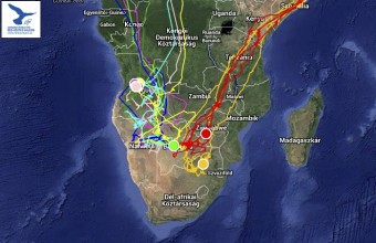 A hét aktív jeladós kék vércse, és a két amuri vércse helyzete a dél-afrikai telelőterületen 2015. 03. 19-én (Forrás: satellitetracking.eu).