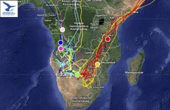 A jeladós kék és amuri vércse helyzete a dél-afrikai telelőterületen 2015. 04. 08-án (Forrás: satellitetracking.eu).