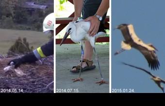 """""""Picur"""" három naposan, amikor még elfért a tűzoltó markában (2014.05.14.), két hónaposan, amikor jeladót kapott (2014.07.15.) és Dél-Afrikában, amikor lefotózták egy felrepülő gólyacsapatban (2015.01.24.)"""