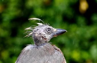 A nyár második felében, a szajkók vedlési időszakában gyakran látni ilyen fura fizimiskájú példányokat (Fotó: Orbán Zoltán).