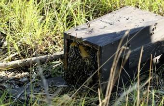 Méhektől túlterhelt szalakótaodú leszakadva (Fotó: Orbán Zoltán).