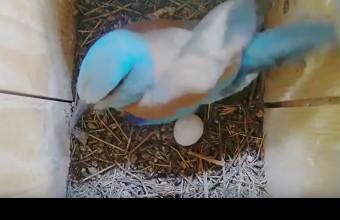 Az első tojás a bekamerázott fészekben