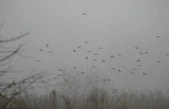 Ködös téli napon táplálékot kereső tengeliccsapat (Fotó: Orbán Zoltán)