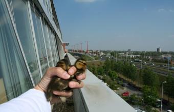 Tőkésréce-fiókák Budapesten, egy irodaépületen, a Rákóczi híd budai hídfőjénél (Fotó: Orbán Zoltán)