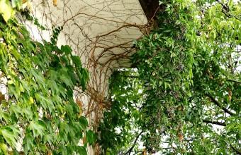 Az ereszről lelógó vadszőlő különleges élőhely, amit a madarak napi szinten használhatnak (Fotó: Orbán Zoltán).