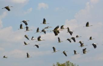 Vonuló gólyacsapat felszállás közben (fotó: Papp Ferenc)