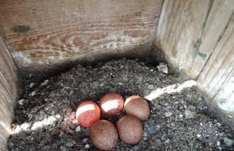 A legkorábbi kezdésű párok március utolsó napjaiban rakták le első tojásukat (Fotó: Solt Szabolcs).