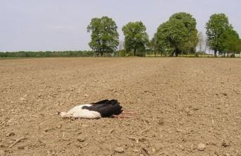 A szántóföldön talált gólyatetem Kisszentmártonban (Fotó: Wágner László)