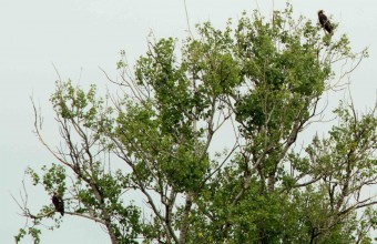 Az őrzött parlagi sas pár a Borsodi-mezőségen (Fotó: Golen Gerhárd)