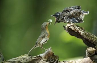 Kakukkfiókát etető vörösbegy (Fotó: Máté Bence).