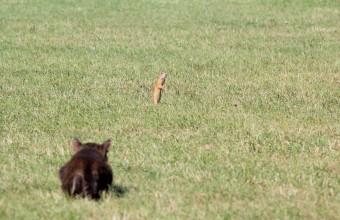 Ürgére vadászó macska (Fotó: Dr. Nagy Lajos).