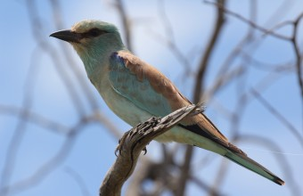 Telelő szalakóta, Dél-Afrikai Köztársaság (Fotó: Halmos Gergő).