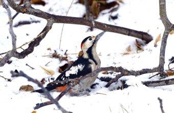 Vajon emlékeznek a madarak (a képen balkáni fakopáncs) arra, hogy hol van a táplálék, és megtalálják azt a hó alatt akkor is, ha nem látják? (Fotó: Orbán Zoltán)